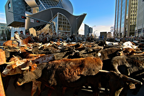 Alberta cattle at auction. (Photo: bulliver / flickr)