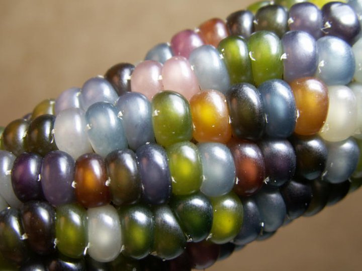 """The heirloom """"Glass Gem"""" maize variety was recently rescued by seedsperson Greg Schoen and carefully stewarded by the Seeds Trust. (Photo: http://seedstrust.com/)"""