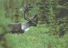 U.S. oil company endangers Alberta caribou