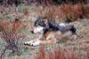 Kill BCâe(TM)s predator control program not wolves