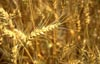 Farmers and the Canadian Wheat Board