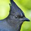 stellersjay's picture